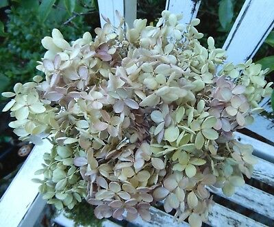 14 Dried P G Hydrangea Cream, Green + Pink  Wedding, Primitive Bouquets, Craft