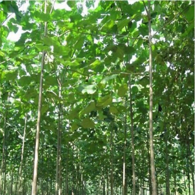 500pcs Paulownia elongata ( Fast Growing Tree)