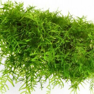 Live Plant Taxiphyllum Barbieri Java Moss for Freshwater Planted Tank 1x1 inch