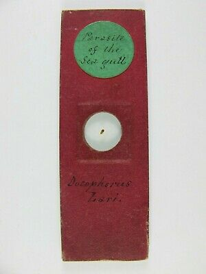 Antique Microscope Slide. Parasite of the Sea Gull. Docophorus lari.