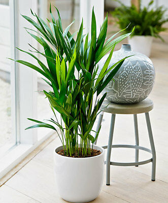 Live Areca Palm Aka Dypsis Lutescens Plant Fit 4 Pot Easy To Grow For Beginners