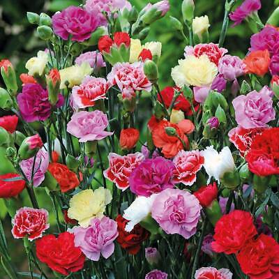 100 - 200Pcs Carnation Flower Seeds Ordinary 8 Kind Plant For Garden And Home