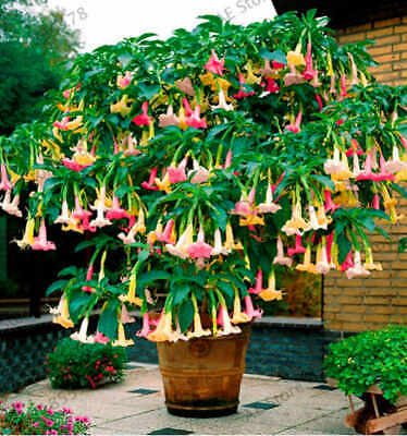 100Pcs Brugmansia Datura Flower Seeds Rare 8 Kind Potted Plant Decor For Garden