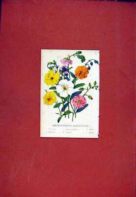 Original Old Antique Print Helianthemum Flower Hand Colored C1831 19th Century