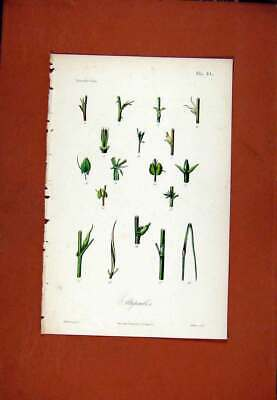 Original Old Antique Print Stipules Hand Colored C1831 Botanical Plant 19th