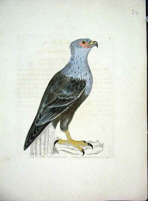 Original Old Antique Print Rare Hand Coloured Kelly Bird C1840 Grey Eagle 19th