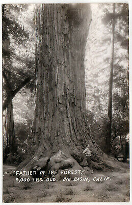 BIG BASIN Redwoods CALIFORNIA RPPC RP Real Photo Postcard SANTA CRUZ Forest TREE