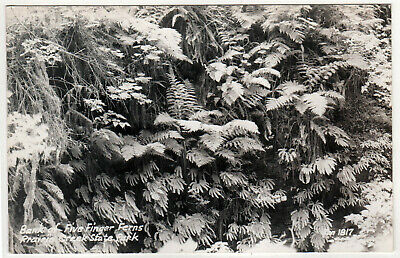 PRAIRIE CREEK REDWOODS STATE PARK California RPPC RP Real Photo Postcard ORICK