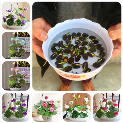 5 - 10Pcs Lotus Flower Seeds Rare 6 Kind Water Plant Bonsai Hydroponic Garden