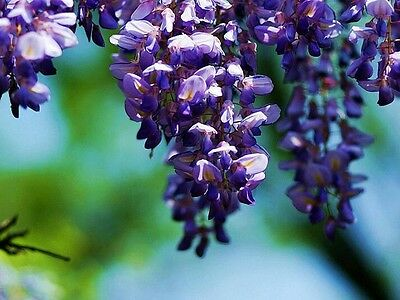Blue Chinese Wisteria Vine, Wisteria sinensis,20 Flower Seeds tree (Fast,Showy)