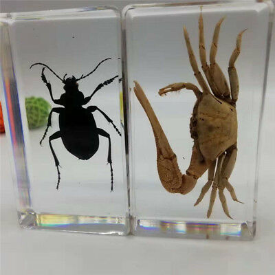 1 pair of real crab beetles embedded in transparent plexiglass paperweight