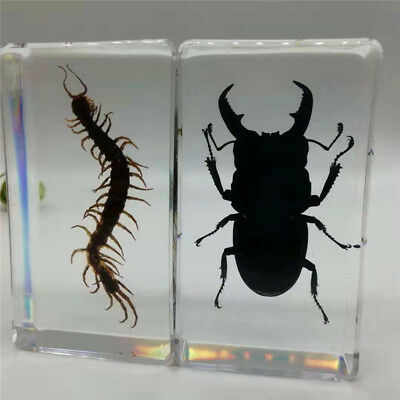 1 pair of real cockroach beetles embedded in transparent plexiglass paperweight