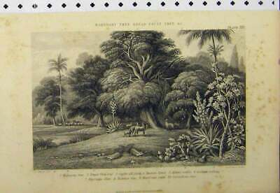 Old Antique Print Mahogany Tree Bread-Fruit C1890 Caster Oil Plant Cacti 19th
