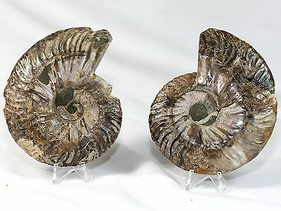 Large Natural Cut Cretaceous Ammonite Pair Interior Display With Crystal Points