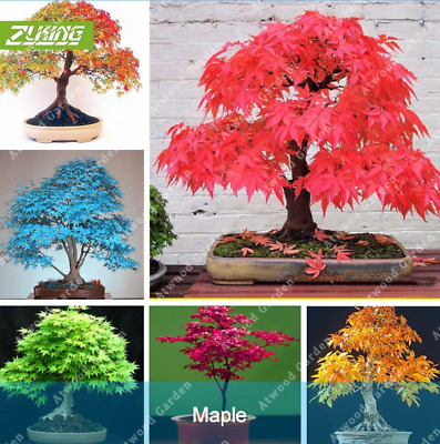 20Pcs Japanese Maple Tree Seeds Rare 6 Kind Color Perennial Bonsai For Home