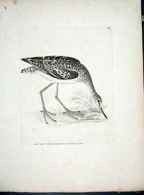 Original Old Antique Print Rare Hand Coloured Kelly Bird C1840 Green Shank 19th
