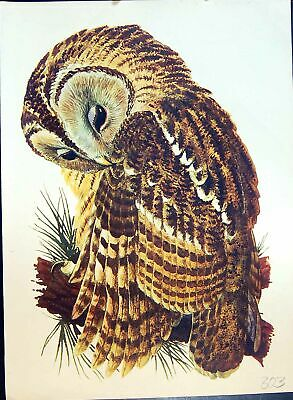 Original Old Antique Print Colour Owl