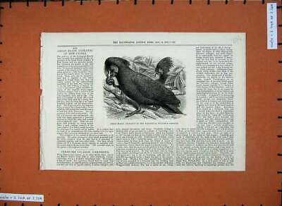 Original Old Antique Print 1875 Great Black Cockatoo Zoological Society Gardens