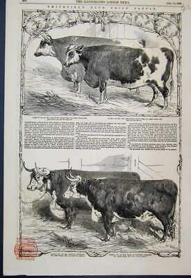 Original Old Antique Print 1853 Smithfield Club Prize Cattle Short Horn Ox 19th