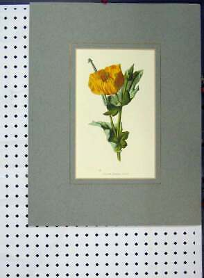Original Old Antique Print Yellow Horned Poppy C1896 Hand Coloured Flower Plant
