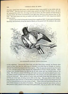 Antique Old Print Rose-Breasted Hawfinch Coccoburus Ludovicianus Branch C1874