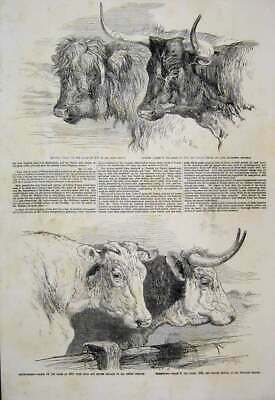 Old Antique Print 1855 Smithfield Club Cattle Show Short Horn Herefords 19th
