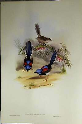 Original Old Antique Print Gould Australia 1869 Facsimile Lovely Wren Victorian