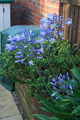 """50 x AGAPANTHUS AFRICANUS Seeds - Perennial """"Blue African Lily Of The Nile"""""""