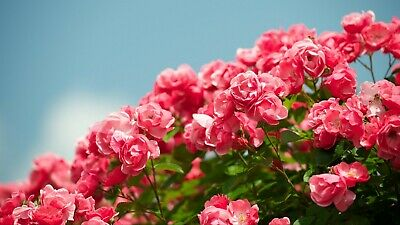Digital Picture Image Photo Wallpaper Desktop Roses Shrub Sky Beautiful 4K