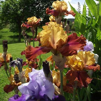 Roots Bulbs Iris 2 Bearded Rhizome Flowers Plant Gifts Chief Blueberry Historic