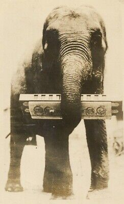 Musical Elephant Playing Harmonica Vintage Photo 1920's