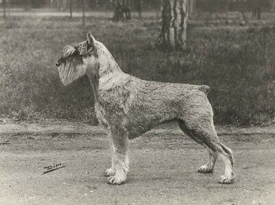 Dog Terrier Study France Old Dimont Studio Photo 1940 Chien Terrier Expo Canine