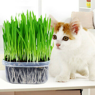 150g Cat Grass Organic Sweet Oat Seeds Plant Seed Pets Aids Digestion