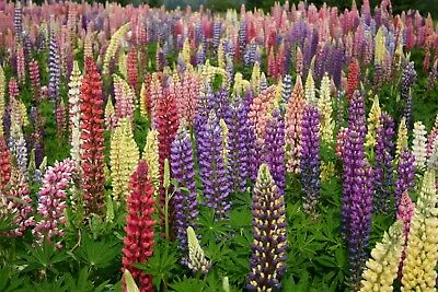 Lupinus 'Russell' Mixed Colours - 5 x 7cm pots - Lupins