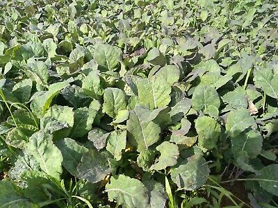 60 BRASSICA VEGETABLE PLANTS FIELD GROWN  not plugs CABBAGE KALE  60 plants