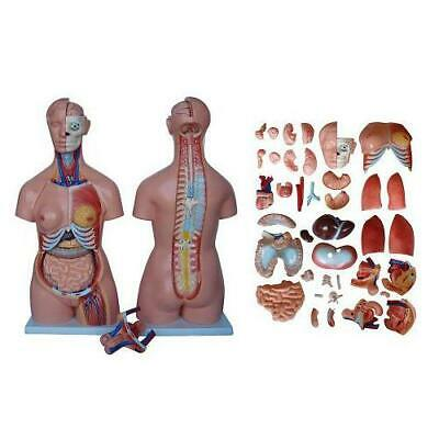 66fit™ Anatomical Torso - 40 Parts - 85cm - Medical Training Aid