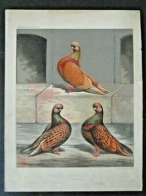 1876 Antique Print, Almond Tumbler Cock, Cassell's Pigeon Book, Ludlow