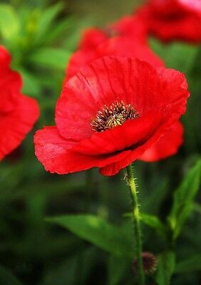 21000 Seeds - Approx 3 grams Field Red Poppy Common,Corn Papaver Rhoeas