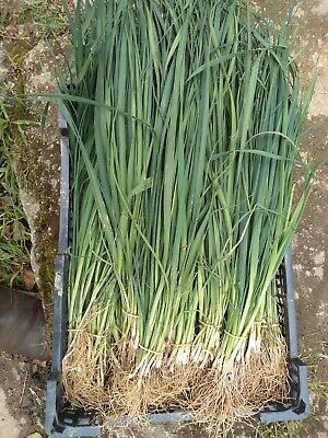Leeks leek  Musselburgh  20 field grown bare root transplants  not plugs