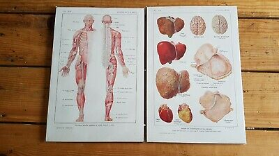 A pair of french Antique Print-HUMAN ANATOMY