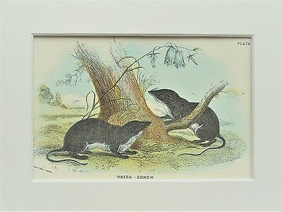 Water Shrew - Mounted Antique British Animal Print Victorian Lithograph