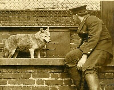 Zoo 's Keeper with a wolf gardien avec un loup vintage photo 1920' England?