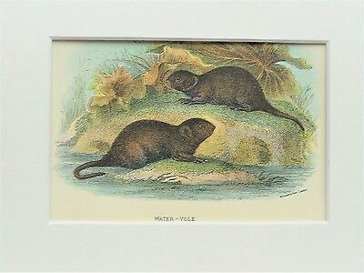 Water Vole - Mounted Antique British Animal Print Victorian Lithograph