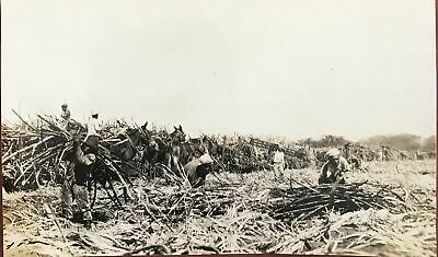 Vintage Photograph By R.W. Oakes Of Sugar Cane Farming On Oahu Hawaii