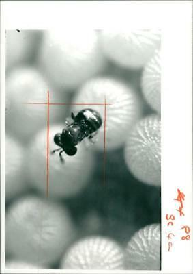 A Female Trichogramma Wasps. - Vintage photo