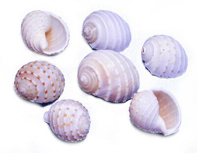 "6 Beautiful Tonna Tesselata Spotted Tun Shells Hermit Crab Natural 3 1/2"" Large"
