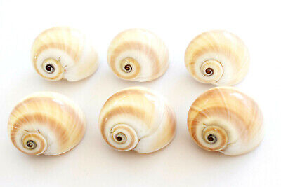 """6 Beautiful Natica Moon Shells Hermit Crab Small 1/2-3/4"""" opening (D-shaped)"""