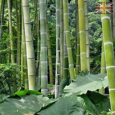 2000 Graines Phyllostachys pubescens Moso Bambou,bambou géant,moso bamboo seeds