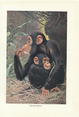PHOTOGRAPH ANIMAL BABY BONOBO CHIMP CHIMPANZEE YOUNG ART PRINT POSTER MP3896A