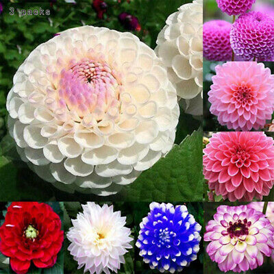 3 PACKS Dahlia Pompone Doubles mixed 150 seeds - Annual